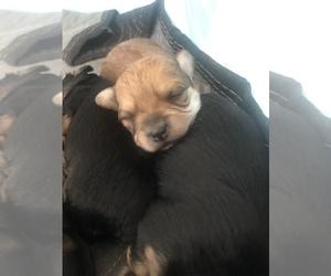 Morkie Puppy for sale in AMARILLO, TX, USA