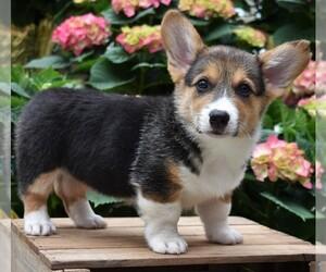 Pembroke Welsh Corgi Puppy for sale in PARADISE, PA, USA