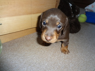 Dachshund Puppy For Sale near 53217, Milwaukee, WI, USA