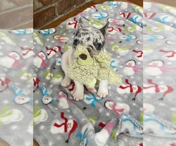 Medium Photo #2 French Bulldog Puppy For Sale in POPLAR GROVE, IL, USA