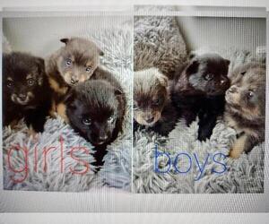 Pomeranian Dog for Adoption in SAINT PETERSBURG, Florida USA