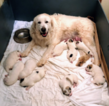 Great Pyrenees Puppy For Sale in CORNVILLE, AZ, USA