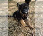 German Shepherd Dog Puppy For Sale in WARRENVILLE, IL, USA