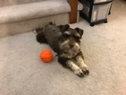 Schnauzer (Miniature) Puppy For Sale in CHESAPEAKE, VA