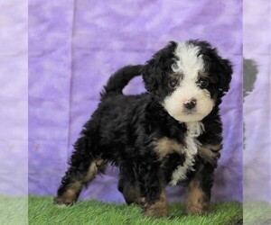 Bernedoodle Dog for Adoption in FREDERICKSBG, Ohio USA