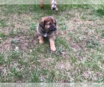 Puppy 2 German Shepherd Dog-Greater Swiss Mountain Dog Mix
