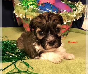Havanese Puppy for sale in SMITHVILLE, MS, USA