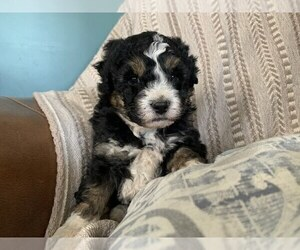 Aussie-Poo Puppy for sale in MYERSTOWN, PA, USA
