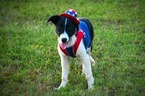 Border Collie Puppy For Sale in BRISTOW, OK, USA