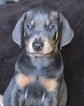 Doberman Pinscher Puppy For Sale in WATSONVILLE, CA, USA