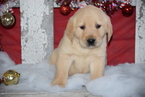 Golden Labrador Puppy For Sale in FREDERICKSBURG, OH, USA