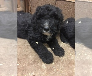 Bernedoodle Puppy for sale in SCOTTSDALE, AZ, USA