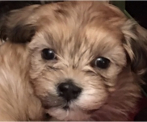 Havanese Puppy for sale in LIVONIA, MI, USA