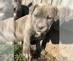 American Staffordshire Terrier Puppy For Sale in FRANKLIN, OH, USA