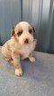Australian Shepherd Puppy For Sale in BRIDGEWATER, VA, USA