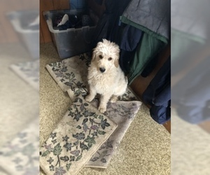 Goldendoodle Puppy for Sale in ELKHART, Indiana USA