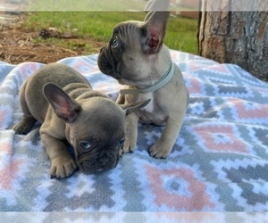 French Bulldog Puppy for sale in KISSIMMEE, FL, USA