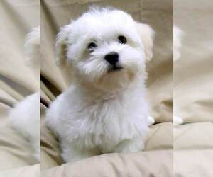 Bichon Frise Puppy for Sale in WINSTON SALEM, North Carolina USA