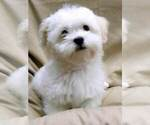 Image preview for Ad Listing. Nickname: BICHON PUPPIES