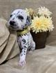 Small #8 Dalmatian