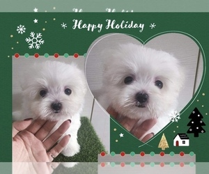 Maltese Puppy for sale in LONG ISLAND CITY, NY, USA
