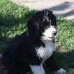 Bernese Mountain Poo Puppy For Sale in RIVERSIDE, CA, USA