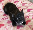 French Bulldog Puppy For Sale near 29455, Johns Island, SC, USA