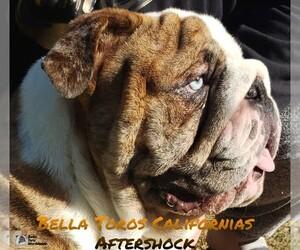 Bulldog Puppy for Sale in CANYON LAKE, California USA