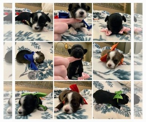 Chihuahua-Poodle (Toy) Mix Puppy for sale in Esterhazy, Saskatchewan, Canada