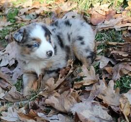 Australian Shepherd Puppy for sale in MARION CENTER, PA, USA