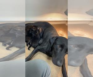 Labrador Retriever Puppy for Sale in SOLON, Iowa USA