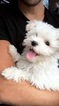 Maltese Puppy For Sale in WEST BLOOMFIELD, MI, USA