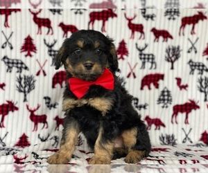 F2 Aussiedoodle Puppy for sale in LANCASTER, PA, USA