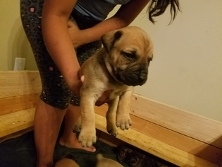Boerboel Puppy For Sale in ALBUQUERQUE, NM, USA