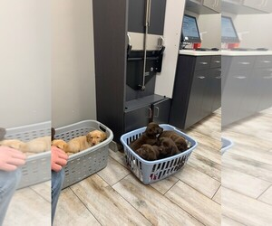 Labrador Retriever Puppy for Sale in WESTCHESTER, Illinois USA