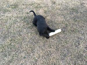 Labrador Retriever Puppy For Sale in KINGSVILLE, MO, USA
