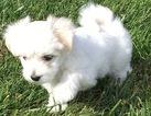 Coton de Tulear Puppy For Sale in CINCINNATI, OH, USA