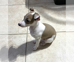 Small #14 Italian Greyhound