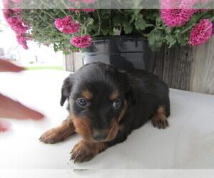 Dachshund Puppy for sale in KOKOMO, IN, USA