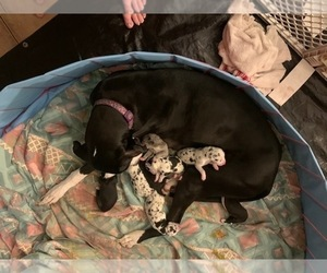 Great Dane Puppy for sale in MARICOPA, AZ, USA
