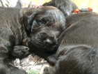 Boykin Spaniel Puppy For Sale in SILVER CREEK, GA, USA