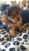 Yorkshire Terrier Puppy For Sale in MERCED, CA
