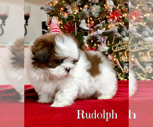Shih Tzu Puppy for sale in BUFORD, GA, USA