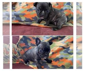 Faux Frenchbo Bulldog Puppy for sale in WAGONER, OK, USA