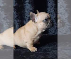 French Bulldog Dog for Adoption in AUSTIN, Texas USA