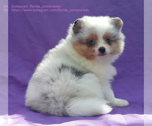 Pomeranian Puppy for sale in WEST PALM BEACH, FL, USA