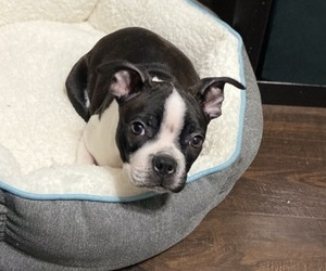 Boston Terrier Puppy for sale in BROOKLINE, PA, USA