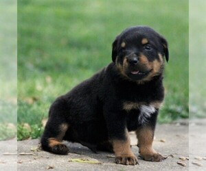 Rottweiler Puppy for sale in DANVILLE, PA, USA