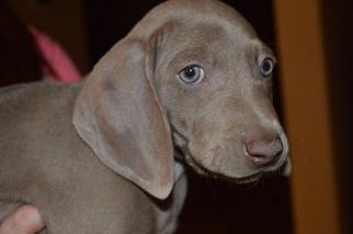 Weimaraner Puppy For Sale in SUN CITY, AZ