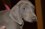 Weimaraner Puppy For Sale in SUN CITY, AZ
